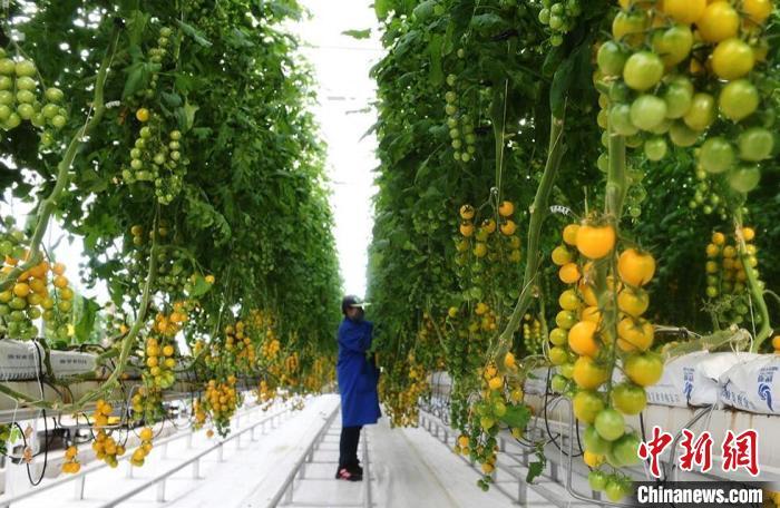 """甘肃酒泉戈壁农业保""""疫""""下蔬菜供给 成农民新增收点"""