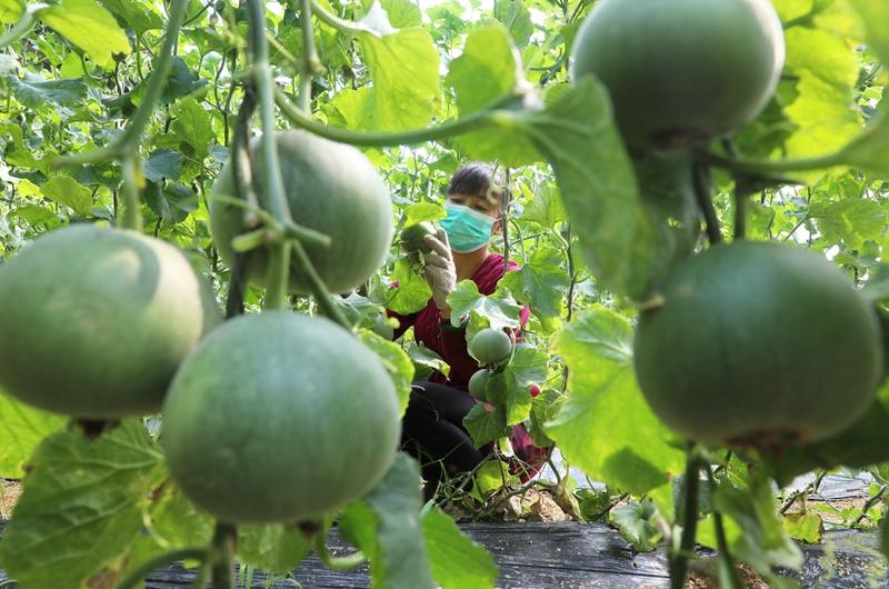 河北唐山:设施农业促增收