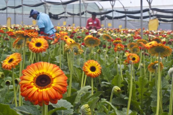由于冠状病毒的全面爆发,哥斯达黎加花农被迫销毁大量花卉