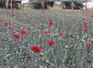 据估计,新型冠状病毒肺炎给土耳其花卉出口商造成约为3000万美元的损失
