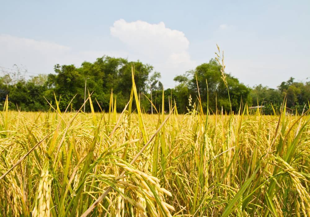 辽宁:农业大灾保险今年实现产粮大县全覆盖
