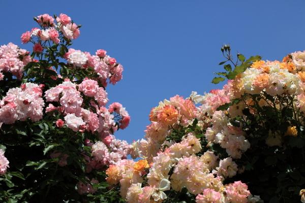 日本官员切断成千上万株玫瑰花,以阻止民众聚集性赏花活动