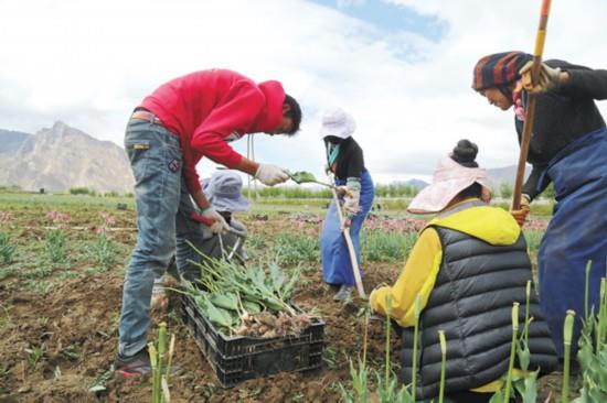 西藏:曲水县才纳乡净土产业园区工人回收郁金香种球.jpg