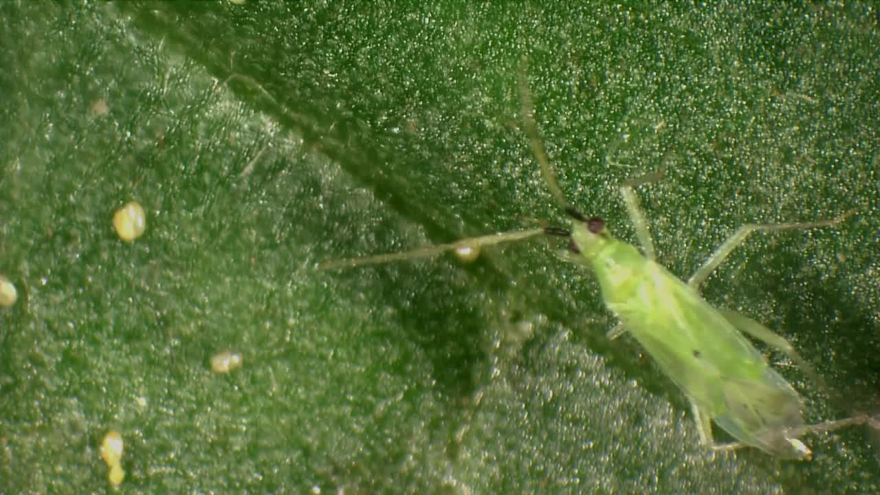 Biological control of Tuta absoluta - Macrolophus pygmaeus.mp4