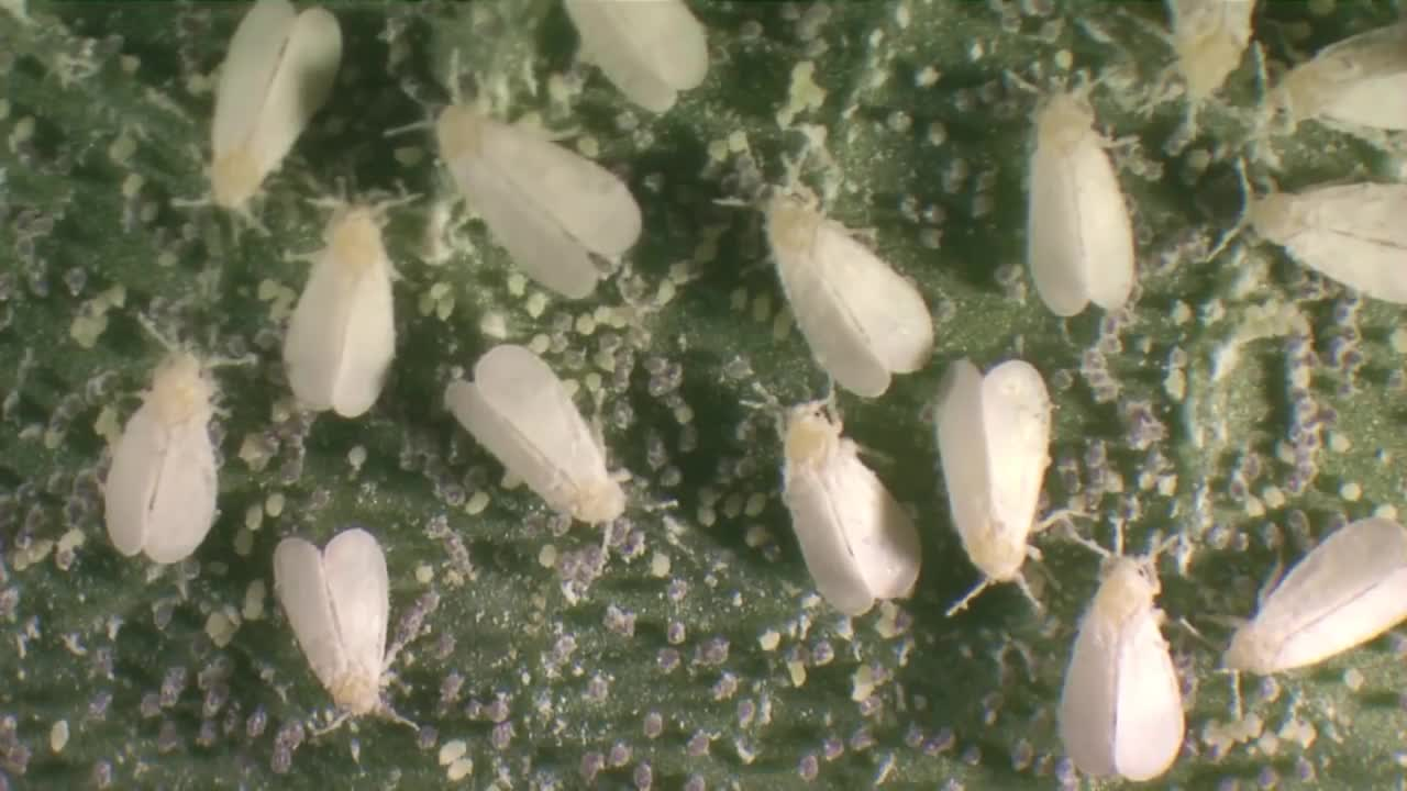 Life cycle of whitefly.mp4