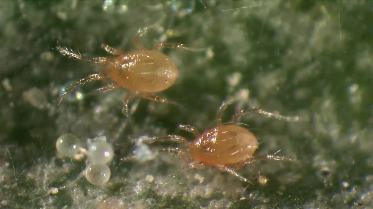 Biological control of spider mite - Phytoseiulus persimilis.mp4