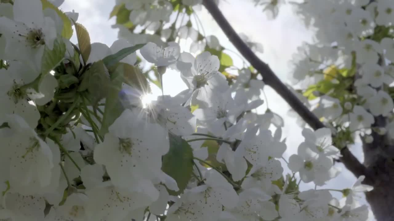 Cherry pollination with bumblebees - Tripol.mp4