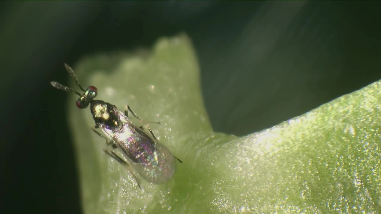 Biological control of leaf miner - Diglyphus isaea.mp4