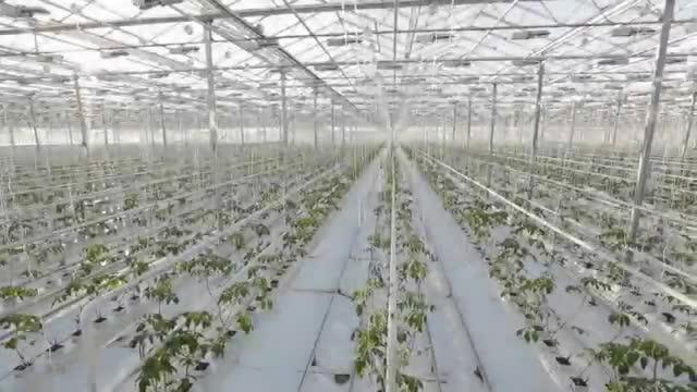 Tomsystem México · atadora de cultivo protegido.mp4