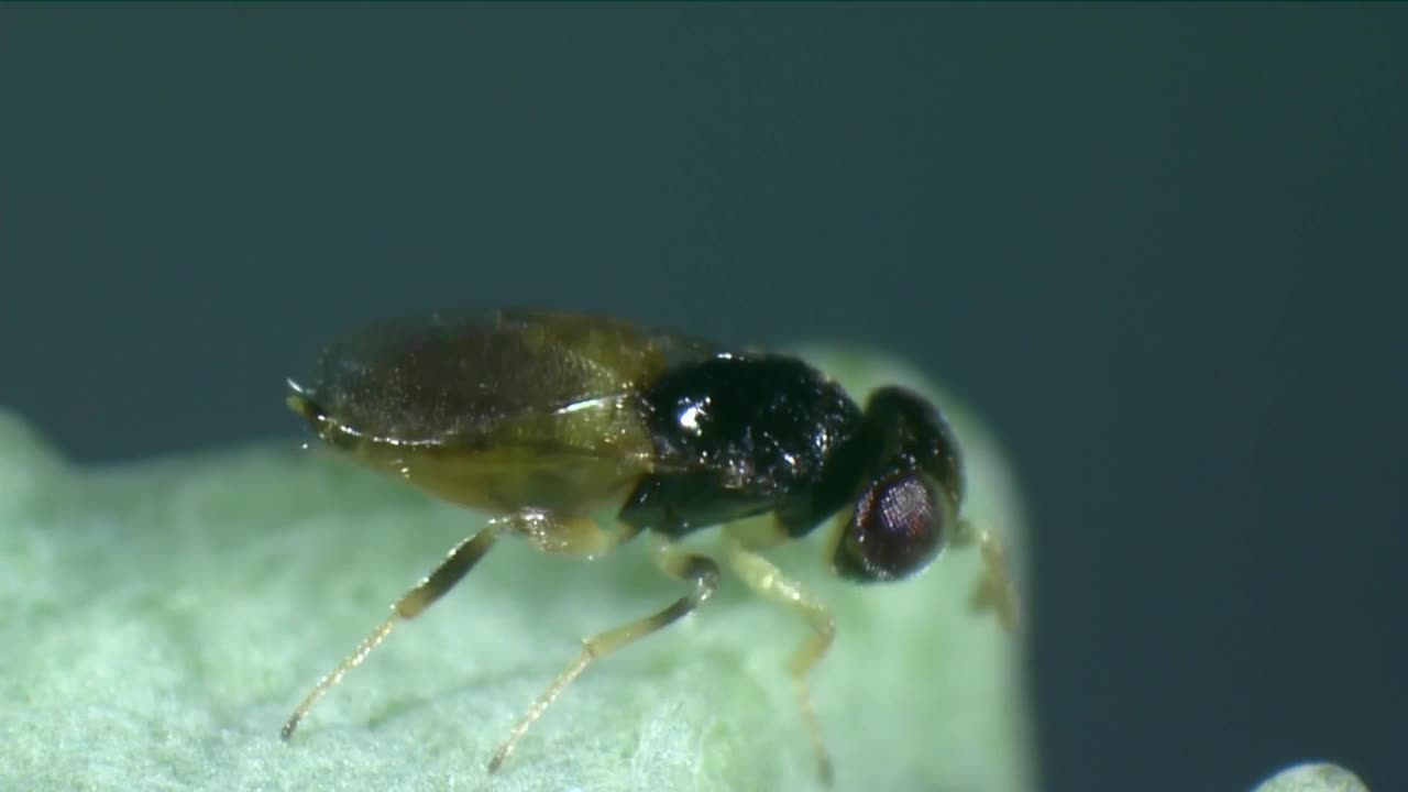 Biological control of aphids - Aphelinus abdominalis.mp4