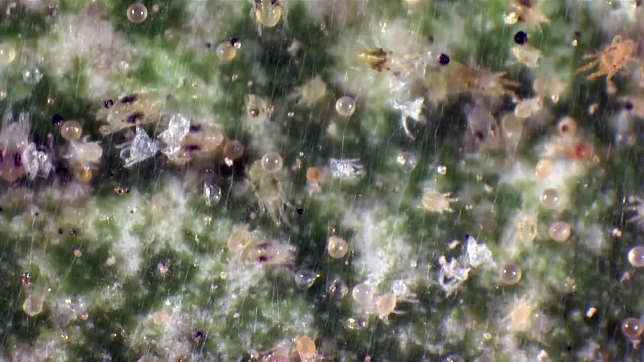 Life cycle of spider mite.mp4