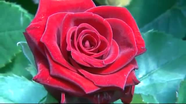 Berg Hortimotive trolley for roses.wmv.mp4