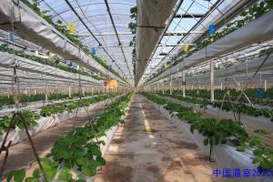 草莓高架栽培.jpg
