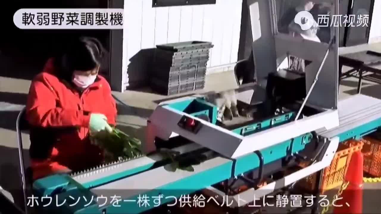 看日本如何机械化采收、清净、包装菠菜值得借鉴.mp4