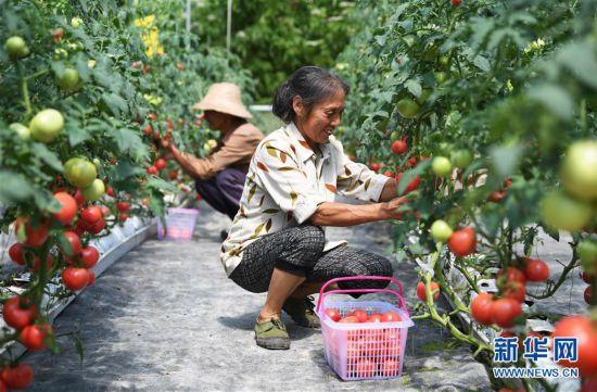 (走基层 听民声)(2)无土栽培的西红柿熟了