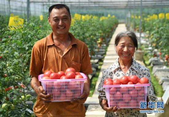 (走基层 听民声)(1)无土栽培的西红柿熟了