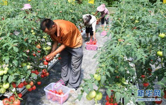 (走基层 听民声)(3)无土栽培的西红柿熟了